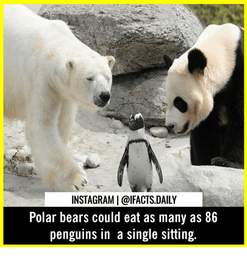 Instagram, Memes, and Bears: INSTAGRAM  @lFACTS.DAILY  Polar bears could eat as many as 86  penguins in a single sitting