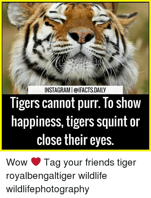 Squinting: INSTAGRAMI@IFACTS DAILY  ligers cannot purr. lo show  happiness, tigers squint or  close their eyes. Wow ❤ Tag your friends tiger royalbengaltiger wildlife wildlifephotography