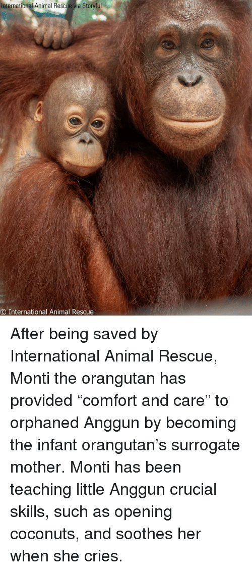 """Memes, Animal, and International: International Animal Rescue via Storyful  O International Animal Rescue After being saved by International Animal Rescue, Monti the orangutan has provided """"comfort and care"""" to orphaned Anggun by becoming the infant orangutan's surrogate mother. Monti has been teaching little Anggun crucial skills, such as opening coconuts, and soothes her when she cries."""