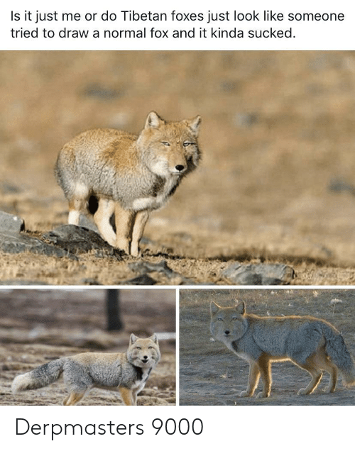 Fox, Foxes, and Normal: Is it just me or do Tibetan foxes just look like someone  tried to draw a normal fox and it kinda sucked. Derpmasters 9000