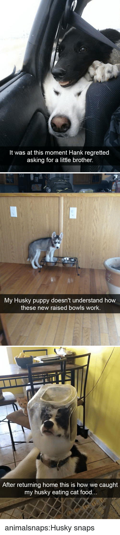 Hank: It was at this moment Hank regretted  asking for a little brother.   My Husky puppy doesn't understand how  these new raised bowls work.   After returning home this is how we caught  my husky eating cat food animalsnaps:Husky snaps
