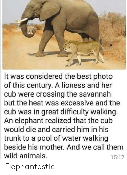 lioness: It was considered the best photo  of this century. A lioness and her  cub were crossing the savannah  but the heat was excessive and the  cub was in great difficulty walking.  An elephant realized that the cub  would die and carried him in his  trunk to a pool of water walking  beside his mother. And we call them  wild animals,  15.17 Elephantastic