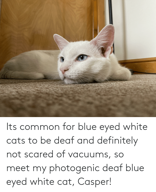 deaf: Its common for blue eyed white cats to be deaf and definitely not scared of vacuums, so meet my photogenic deaf blue eyed white cat, Casper!
