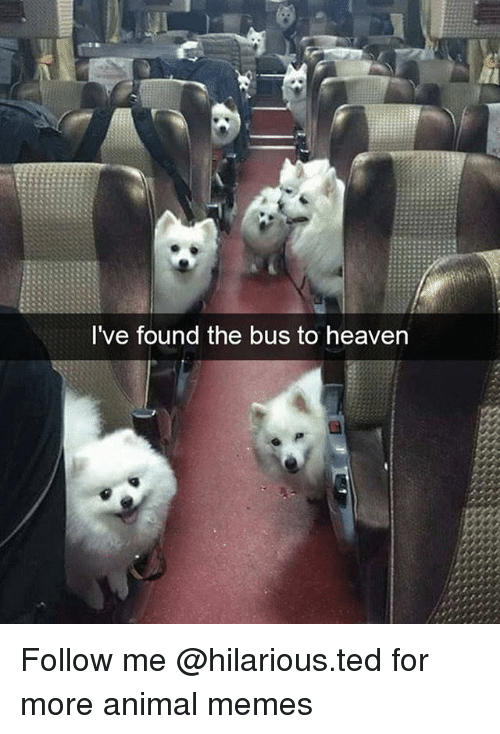 Funny, Heaven, and Memes: I've found the bus to heaven Follow me @hilarious.ted for more animal memes