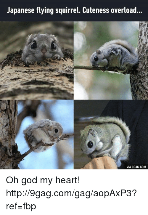 9gag, Cute, and Dank: Japanese flying squirrel. Cuteness overload...  VIA 9GAG.COM Oh god my heart! http://9gag.com/gag/aopAxP3?ref=fbp
