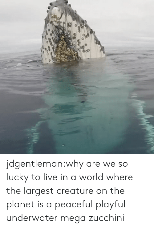zucchini: jdgentleman:why are we so lucky to live in a world where the largest creature on the planet is a peaceful playful underwater mega zucchini