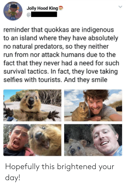 Love, Run, and Smile: Jolly Hood King  reminder that quokkas are indigenous  to an island where they have absolutely  no natural predators, so they neither  run from nor attack humans due to the  fact that they never had a need for such  survival tactics. In fact, they love taking  selfies with tourists. And they smile Hopefully this brightened your day!