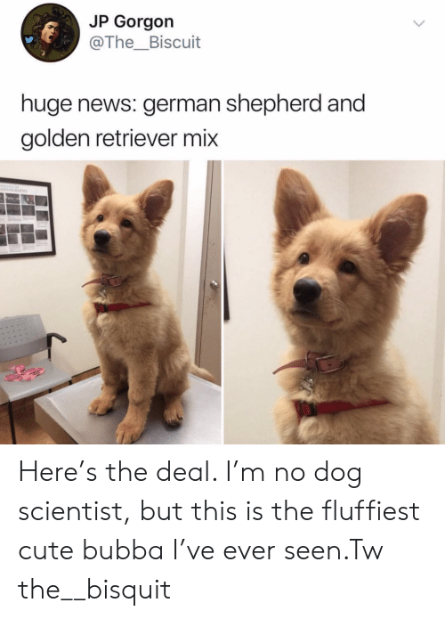 biscuit: JP Gorgon  @The_Biscuit  huge news: german shepherd and  golden retriever mix Here's the deal. I'm no dog scientist, but this is the fluffiest cute bubba I've ever seen.Tw the__bisquit
