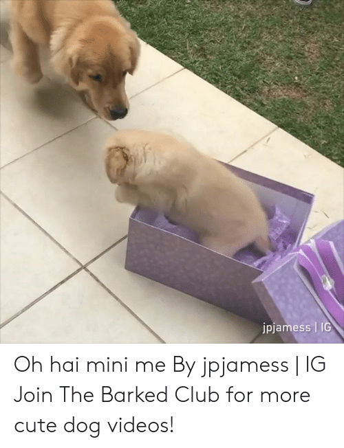 Club, Cute, and Dank: jpjamess | IG Oh hai mini me By jpjamess | IG  Join The Barked Club for more cute dog videos!