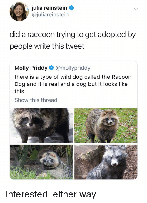 racoon: julia reinstein  @juliareinstein  did a raccoon trying to get adopted by  people write this tweet  Molly Priddy @mollypriddy  there is a type of wild dog called the Racoon  Dog and it is real and a dog but it looks like  this  Show this thread interested, either way