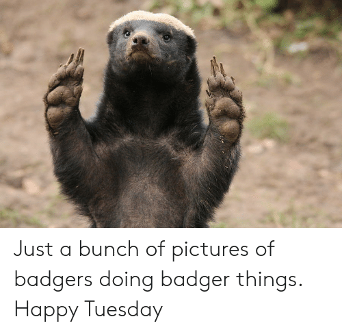 badger: Just a bunch of pictures of badgers doing badger things. Happy Tuesday