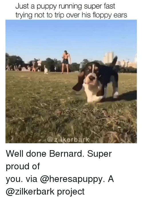 Instagram, Target, and Puppy: Just a puppy running super fast  trying not to trip over his floppy ears  zilkerbark Well done Bernard. Super proud of you. via @heresapuppy. A @zilkerbark project