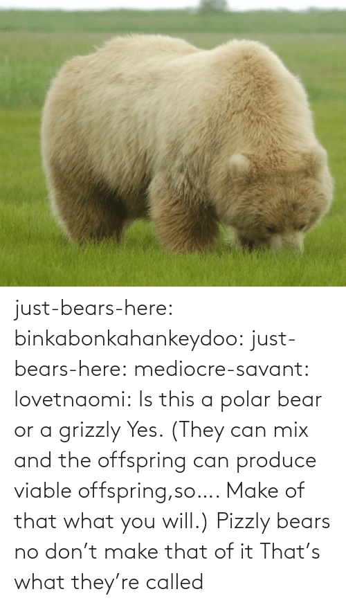 Bear: just-bears-here: binkabonkahankeydoo:   just-bears-here:  mediocre-savant:   lovetnaomi:  Is this a polar bear or a grizzly   Yes. (They can mix and the offspring can produce viable offspring,so…. Make of that what you will.)   Pizzly bears   no don't make that of it   That's what they're called