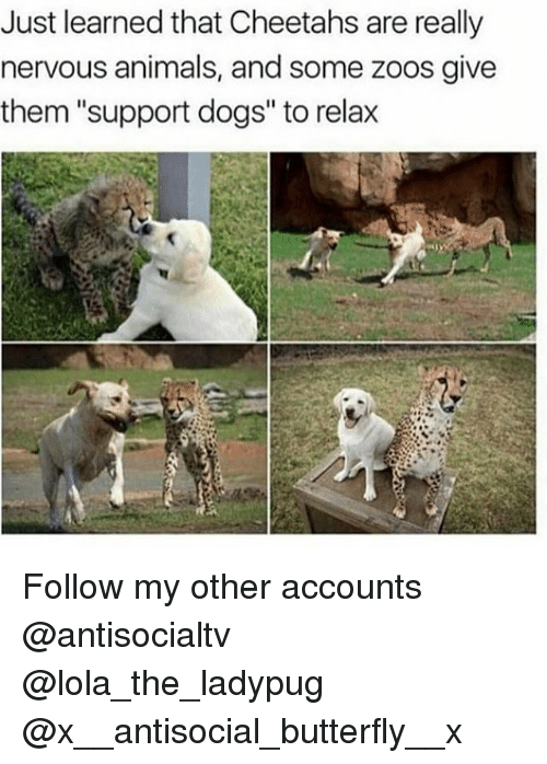 """Animals, Dogs, and Memes: Just learned that Cheetahs are really  nervous animals, and some zoos give  them """"support dogs"""" to relax Follow my other accounts @antisocialtv @lola_the_ladypug @x__antisocial_butterfly__x"""