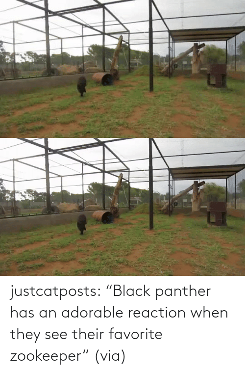 "Black Panther: justcatposts:  ""Black panther has an adorable reaction when they see their favorite zookeeper"" (via)"