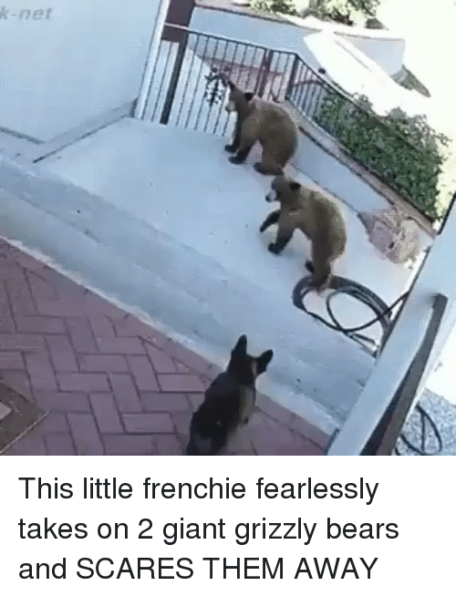 Memes, Bears, and Giant: k-net This little frenchie fearlessly takes on 2 giant grizzly bears and SCARES THEM AWAY