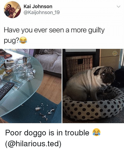 Pugly: Kai Johnson  @Kaijohnson_19  Have you ever seen a more guilty  pug? Poor doggo is in trouble 😂 (@hilarious.ted)
