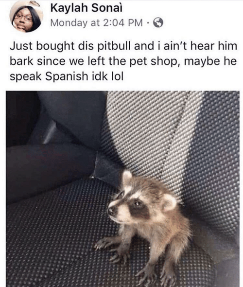 Lol, Spanish, and Pitbull: Kaylah Sonai  Monday at 2:04 PM  Just bought dis pitbull and i ain't hear him  bark since we left the pet shop, maybe he  speak Spanish idk lol