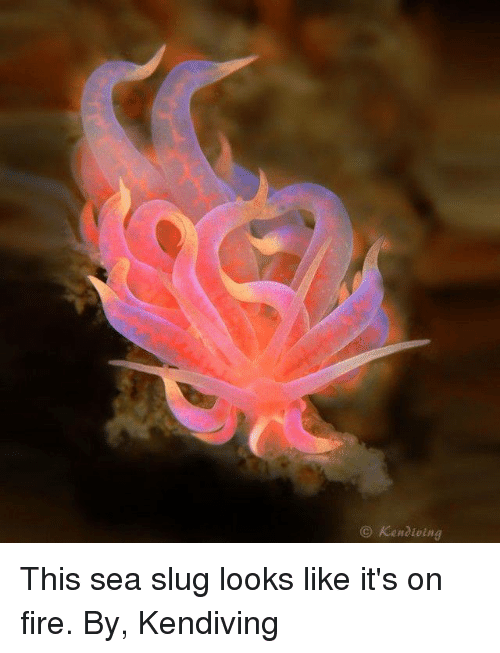 Memes, 🤖, and Slug: Kenaioing This sea slug looks like it's on fire.  By, Kendiving