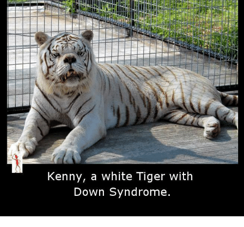 Tiger With Downs Syndrome