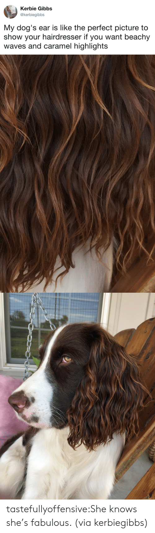 Dogs, She Knows, and Tumblr: Kerbie Gibbs  @kerbiegibbs  My dog's ear is like the perfect picture to  show your hairdresser if you want beachy  waves and caramel highlights tastefullyoffensive:She knows she's fabulous. (via kerbiegibbs)