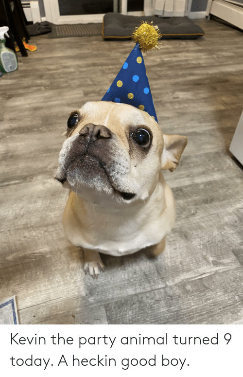 Heckin Good: Kevin the party animal turned 9 today. A heckin good boy.