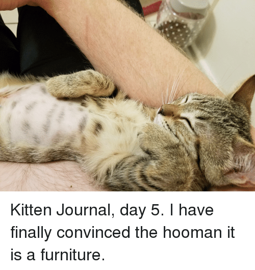 Furniture, Journal, and Kitten: Kitten Journal, day 5. I have finally convinced the hooman it is a furniture.