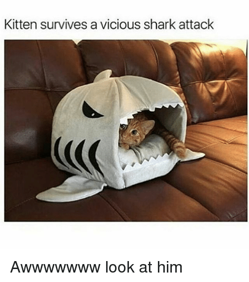 Kitten Survives A Vicious Shark Attack Awwwwwww Look At Him Meme