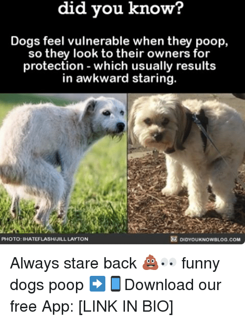 Jilling: know?  did you know?  Dogs feel vulnerable when they poop,  so they look to their owners for  protection which usually results  in awkward staring.  DIDYoukNowBLOG.coM  PHOTO: IHATEFLASH/JILL LAYTON Always stare back 💩👀 funny dogs poop ➡📱Download our free App: [LINK IN BIO]