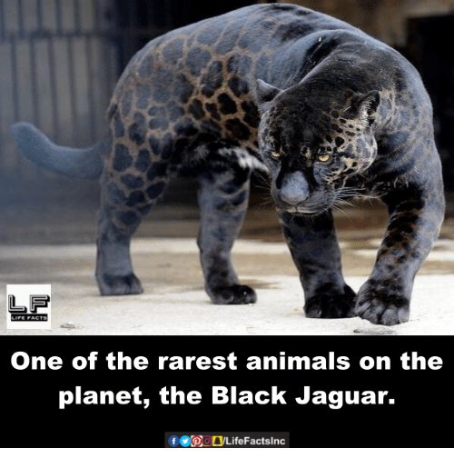 Rarest Animal: L FS  LIFE ACTS  One of the rarest animals on the  planet, the Black Jaguar.