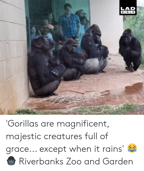 Dank, Magnificent, and 🤖: LAD  BIBL E 'Gorillas are magnificent, majestic creatures full of grace... except when it rains' 😂🦍  Riverbanks Zoo and Garden