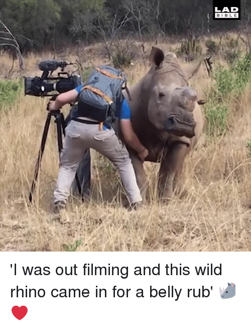 Dank, Wild, and 🤖: LAD  BIBL E 'I was out filming and this wild rhino came in for a belly rub' 🦏❤️