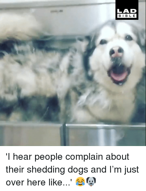 Dank, Dogs, and Bible: LAD  BIBLE 'I hear people complain about their shedding dogs and I'm just over here like...' 😂🐶