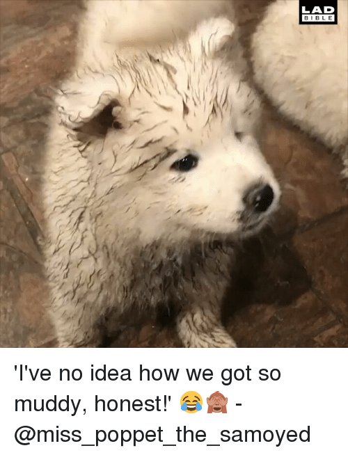 Muddy: LAD  BIBLE 'I've no idea how we got so muddy, honest!' 😂🙈 - @miss_poppet_the_samoyed