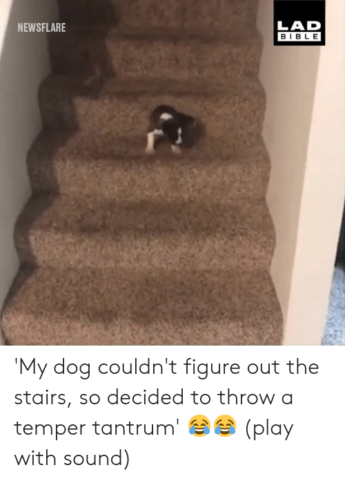 tantrum: LAD  BIBLE  NEWSFLARE 'My dog couldn't figure out the stairs, so decided to throw a temper tantrum' 😂😂 (play with sound)