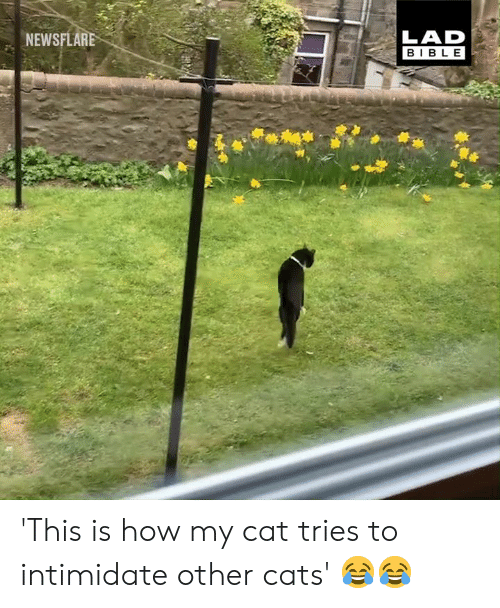 intimidate: LAD  BIBLE  NEWSFLARE 'This is how my cat tries to intimidate other cats' 😂😂