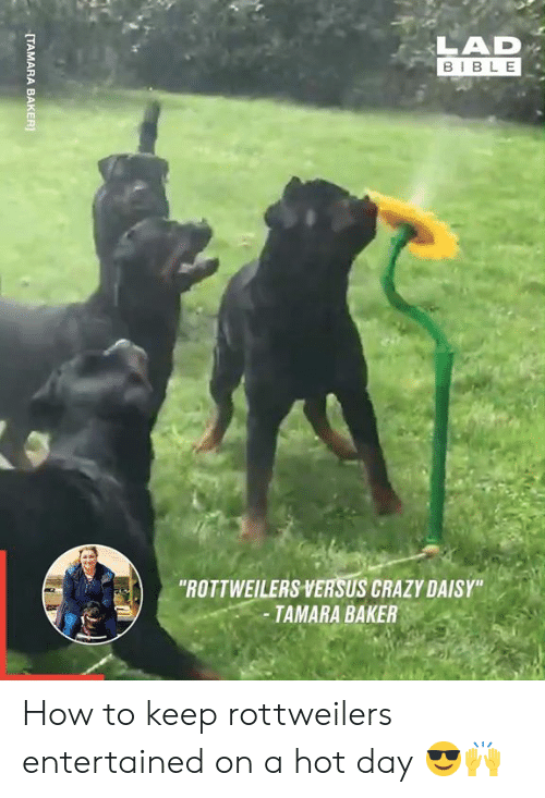"daisy: LAD  BIBLE  ""ROTTWEILERS VERSUS CRAZY DAISY""  -TAMARA BAKER  [TAMARA BAKER How to keep rottweilers entertained on a hot day 😎🙌"