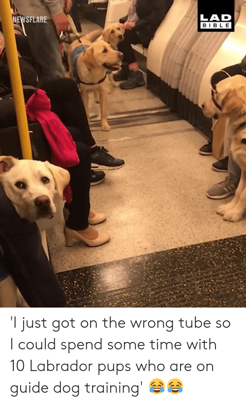 labrador: LAD  BIBLE  SFLARE 'I just got on the wrong tube so I could spend some time with 10 Labrador pups who are on guide dog training' 😂😂