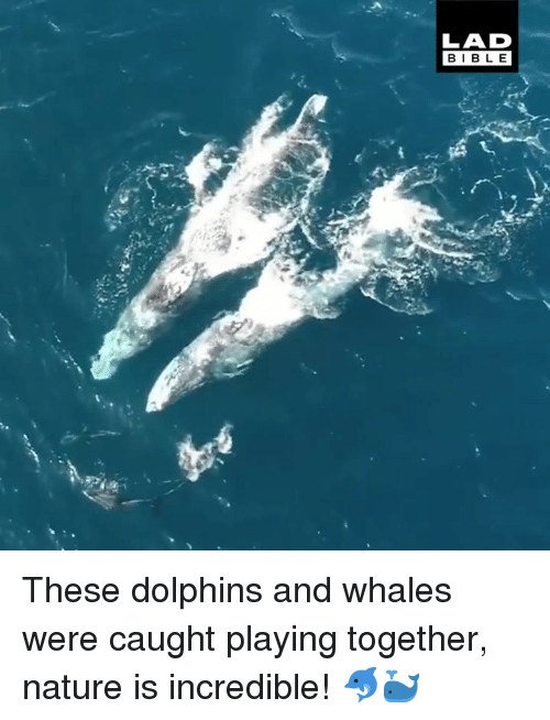 Dank, Bible, and Dolphins: LAD  BIBLE These dolphins and whales were caught playing together, nature is incredible! 🐬🐳
