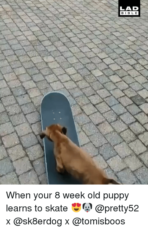 Memes, Bible, and Puppy: LAD  BIBLE When your 8 week old puppy learns to skate 😍🐶 @pretty52 x @sk8erdog x @tomisboos