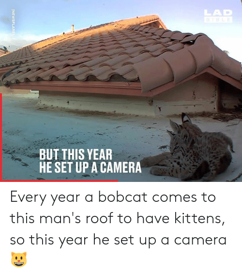 Dank, Bobcat, and Camera: LAD  BUT THIS YEAR  HE SET UP A CAMERA Every year a bobcat comes to this man's roof to have kittens, so this year he set up a camera 😺