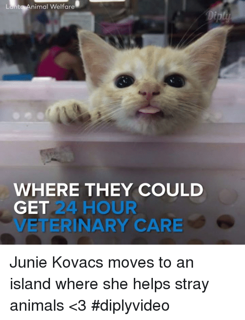 animal welfare: Lant Animal Welfare  WHERE THEY COULD  GET  24 HOUR  VETERINARY CARE Junie Kovacs moves to an island where she helps stray animals <3 #diplyvideo