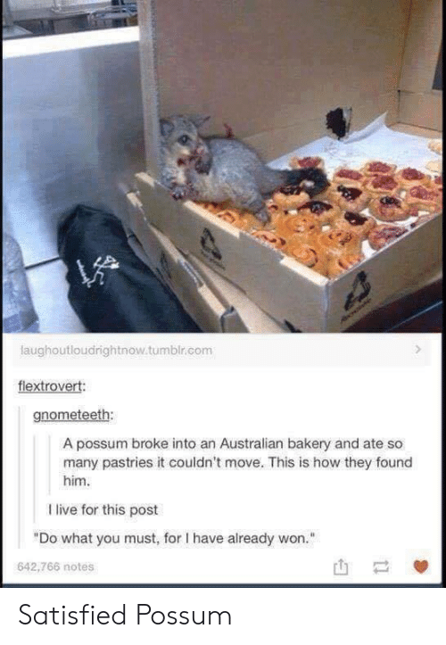 "Possums: laughoutloudrightnow.tumblr.com  flextrovert:  gnometeeth:  A possum broke into an Australian bakery and ate so  many pastries it couldn't move. This is how they found  him  I live for this post  ""Do what you must, for I have already won.""  642,766 notes Satisfied Possum"