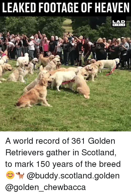 Chewbacca, Heaven, and Memes: LEAKED FOOTAGE OF HEAVEN  LAD  BIBLE A world record of 361 Golden Retrievers gather in Scotland, to mark 150 years of the breed 😊🐕 @buddy.scotland.golden @golden_chewbacca