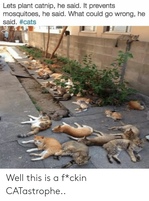 Cats, Catnip, and What: Lets plant catnip, he said. It prevents  mosquitoes, he said. What could go wrong, he  said. Well this is a f*ckin CATastrophe..
