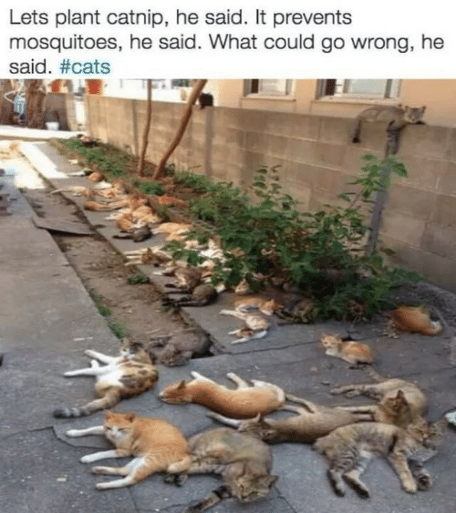 catnip: Lets plant catnip, he said. It prevents  mosquitoes, he said. What could go wrong, he  said.