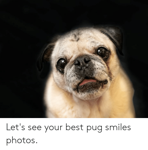 Memes, Best, and Smiles: Let's see your best pug smiles photos.