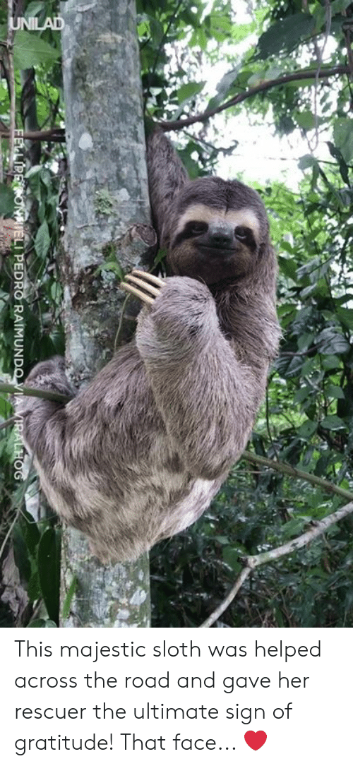 Sloth: LI PEDRO RAIMUN This majestic sloth was helped across the road and gave her rescuer the ultimate sign of gratitude! That face... ❤️
