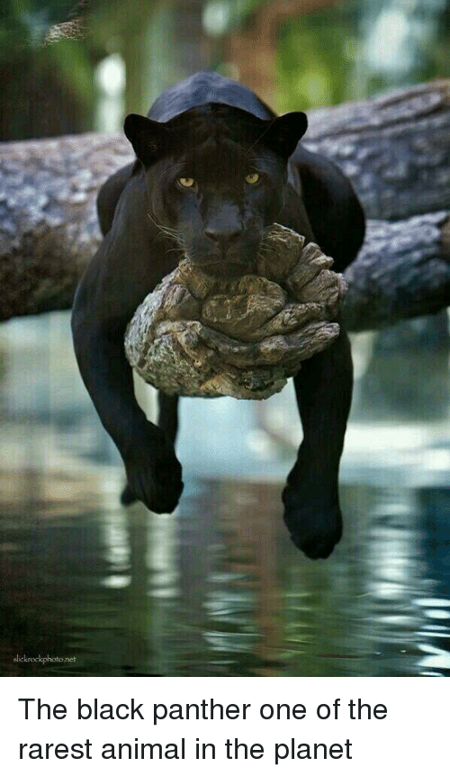 Animal, Black, and Black Panther: lickrockphoto.net The black panther one of the rarest animal in the planet