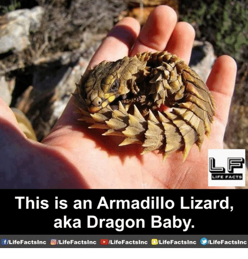 Facts, Life, and Memes: LIFE FACTS  This is an Armadillo Lizard,  aka Dragon Baby  f/LifeFactsinc /LifeFactslnc LifeFactsinc/LifeFactsinc LifeFactsinc